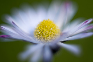 Lawn Daisy | by ecstaticist - evanleeson.com