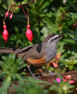 Grey-breasted Laughingthrush | by Vive le Roi