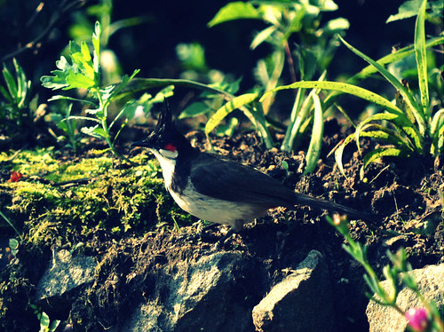 Red Whiskered Bulbul | by Vive le Roi
