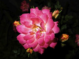 Night rose  (FujiFilm X10) | by potopoto53age