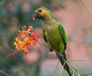 Yellow shouldered parrot | by Through The Big Lens