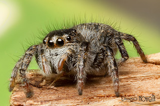 Jumping Spider | by Diego Novelli