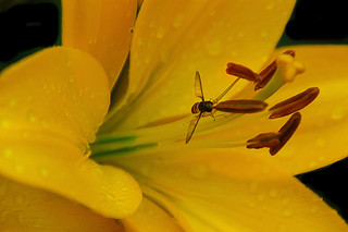 Hoverfly inside lily | by scorpion (13)