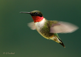 Ruby Throated Hummingbird | by Gary Fairhead