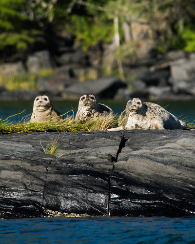 Harbor Seals | by AER Wilmington DE