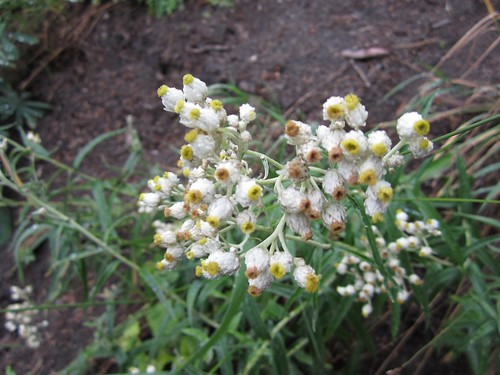 pearly everlasting | by mjb2000