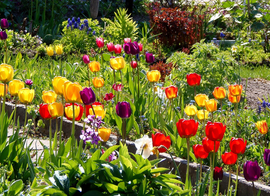 May Tulips in My Garden / Happy Flower\'s Day ! | Thank you e… | Flickr
