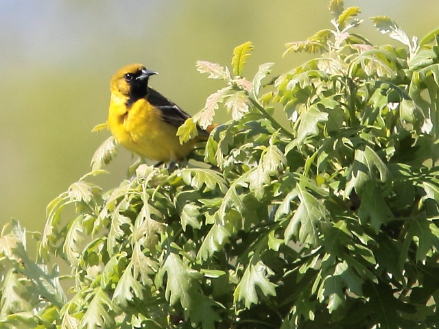 Orchard Oriole male 1st year 20150521