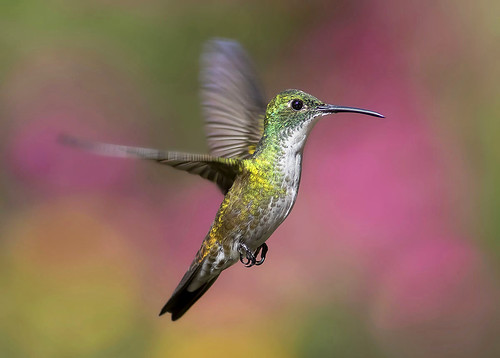 White-chested Emerald hummingbird (Amazilia brevirostris ...