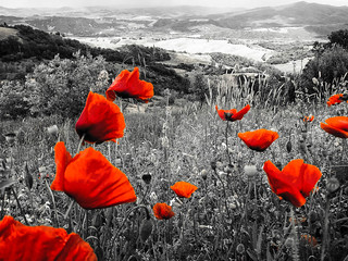 Poppies on a Tuscan hillside | by stewartl2010