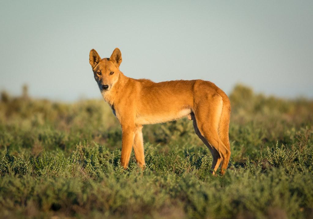 Resultado de imagem para canis lupus dingo