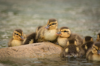 Ducklings 1 | by brian.abeling