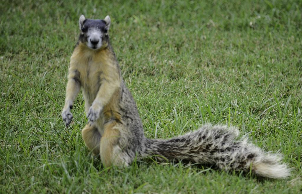 masked face fox squirrel charles patrick ewing flickr