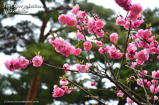 Cherry_Blossom_at_Fort Goryokaku22 | by Cecil Lee