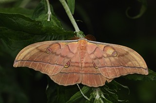 Japanese oak silkmoth (Antheraea yamamai) | by Deanster1983 who's mostly off