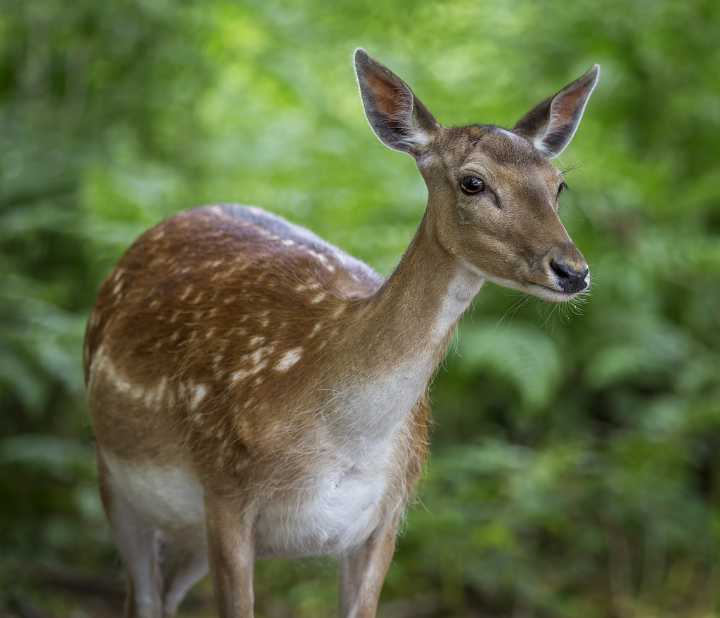 doe fallow deer captured in the morning sunshine wandering flickr