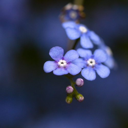 my first forget-me-nots | by _aires_