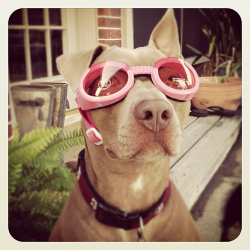 Guess who's ready for a ride in the #jeep? #dog #pitbull | by kellyjrusso