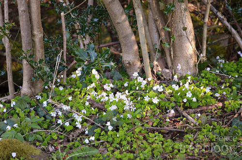 210412-wood-sorrel | by treeblog