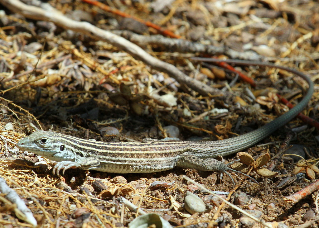 Whiptail lizards asexual reproduction pictures