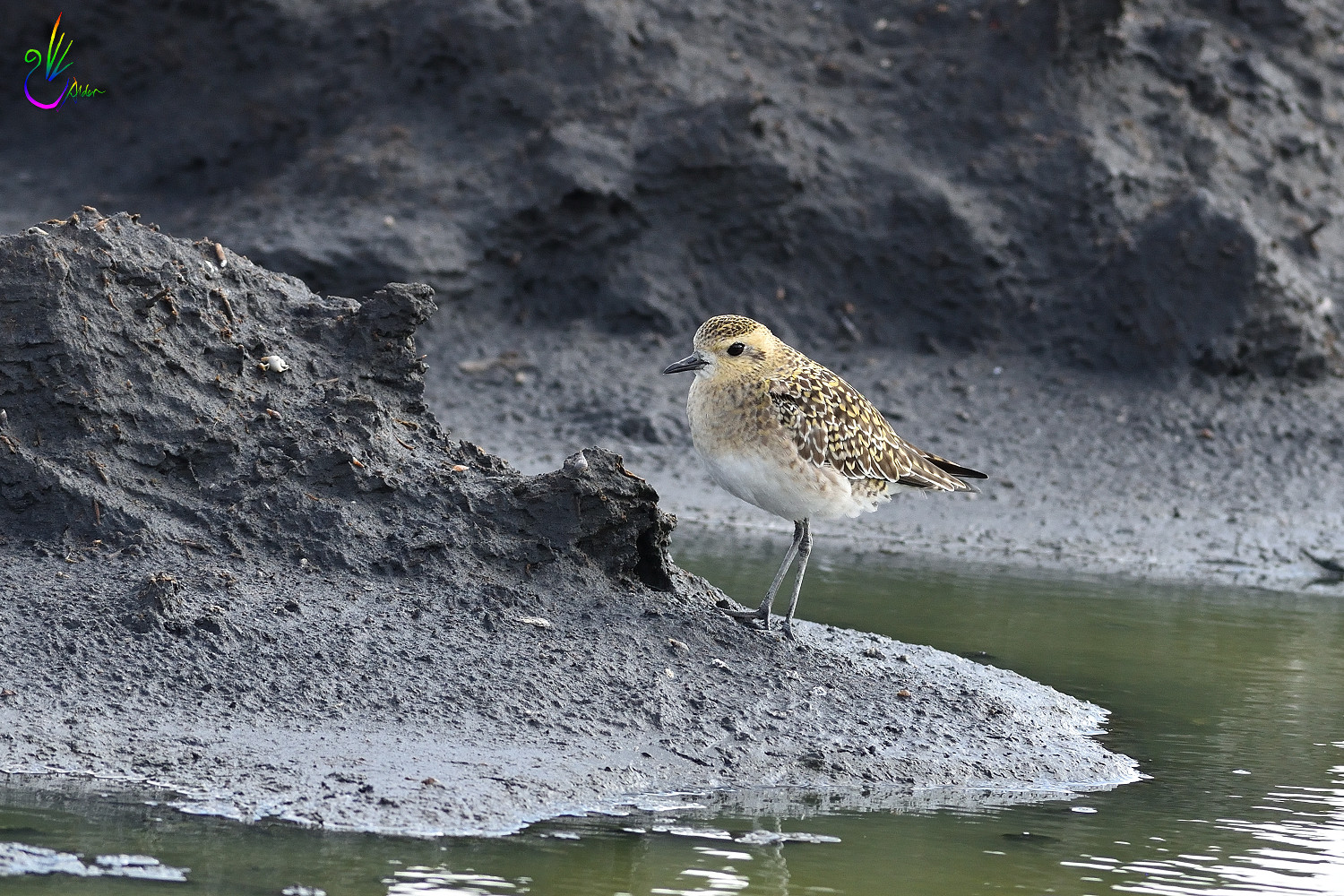 Pacific_Golden_Plover_9463