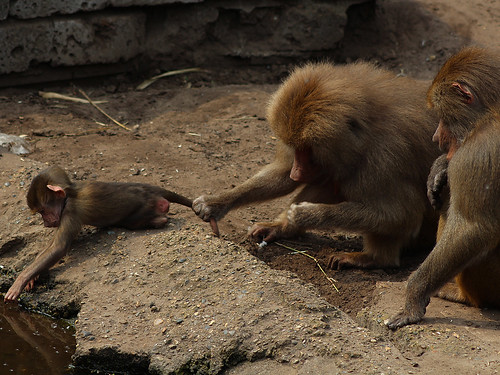 Amersfoort Zoo monkeys | by solitary.star