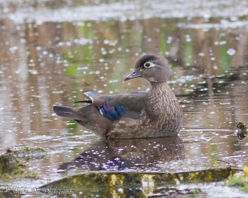 Wood Duck (hen) | by claybuster1(doing good just very busy)