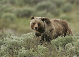 Grizzly bear | by Oregon State University