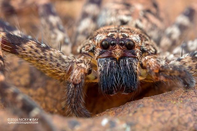 Huntsman spider (Sparassidae) - PA090125