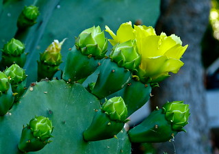 Not So Prickly Pear 3 | by Cobaltski