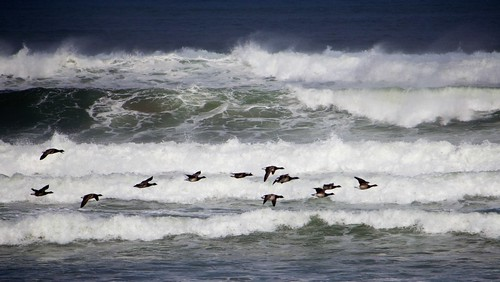 Brent geese by Strandhill | by Tommy Weir