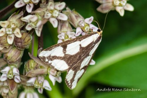 Leconte's Haploa Moth - Hodges#8111 (Haploa lecontei)