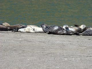 061 Zeehonden bij Goat Rock State Beach