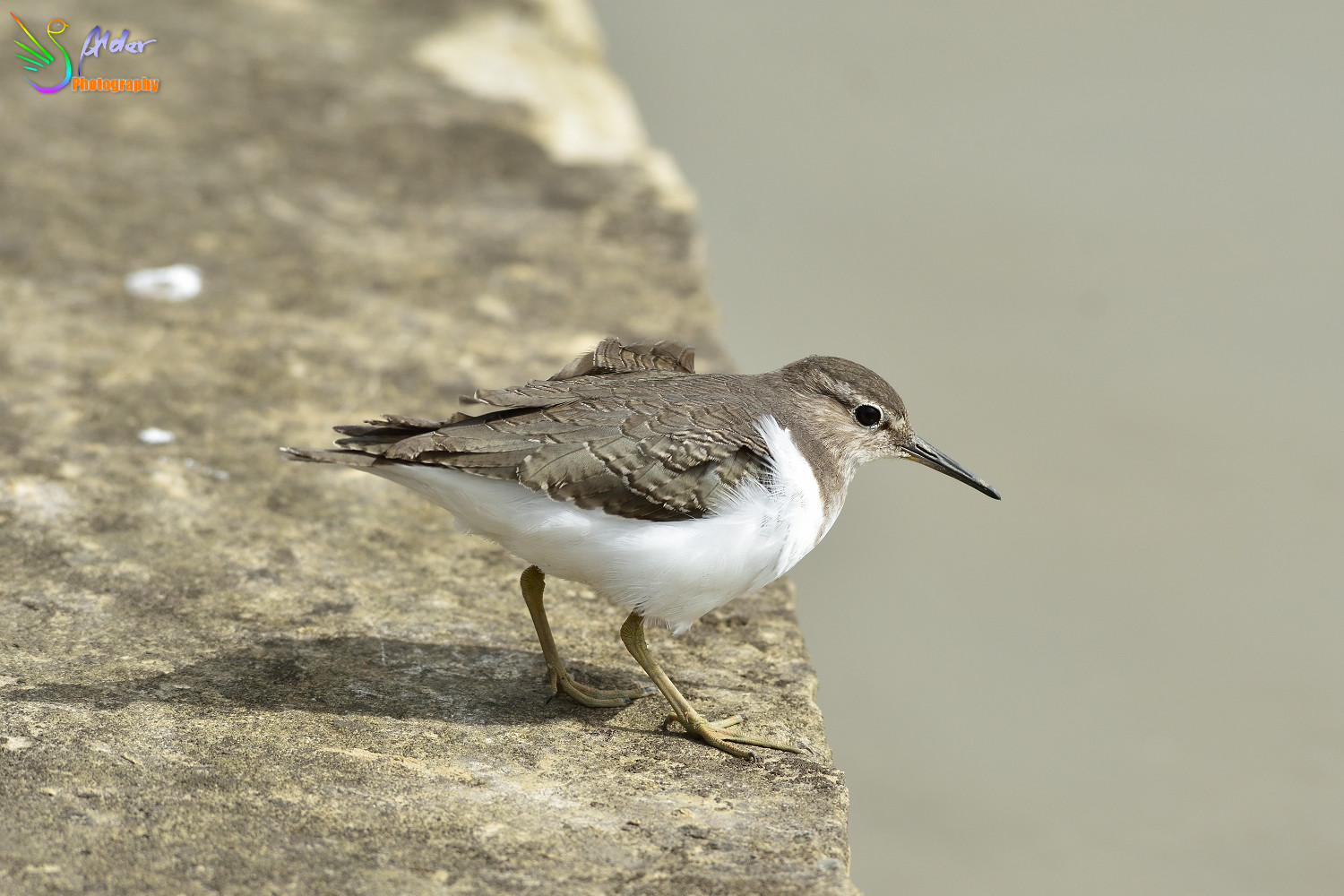 Common_Sandpiper_2693
