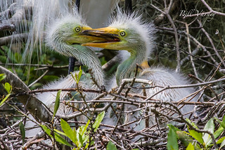 Great Egret Chicks | by Bill Varney
