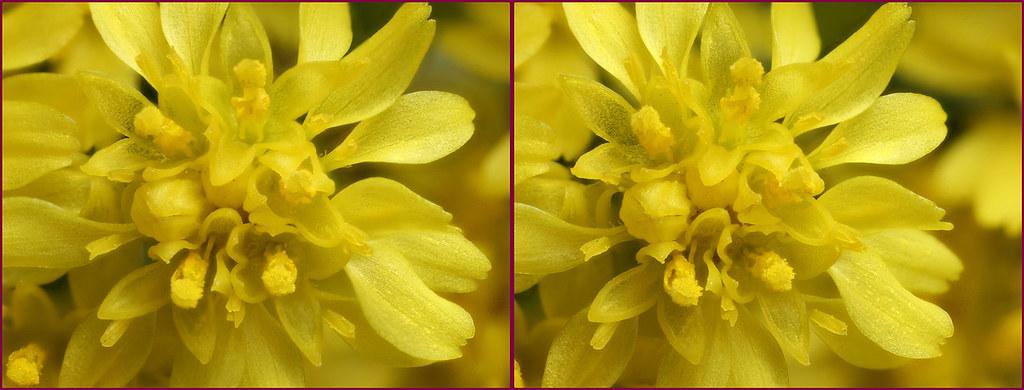 3 d yellow statice flowers 3 cross eye stereogram brian 3 d yellow statice flowers 3 by lord v mightylinksfo