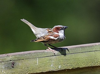 House Sparrow (M) | by Au13J