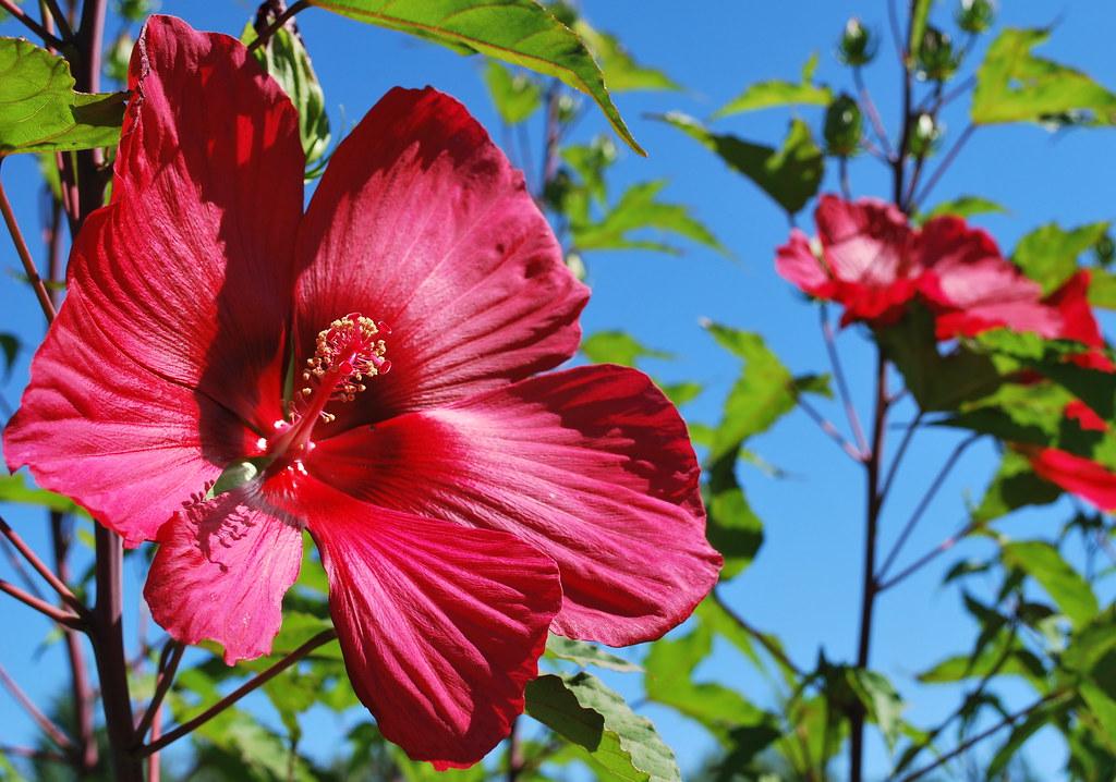 hibiscus géant | Les Jardins de Colette | Flickr