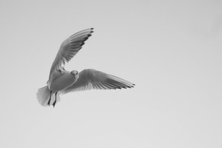 a black headed gull in winter | by bob:davis