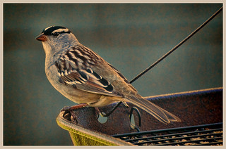 white crowned sparrow | by CLDeMartino Photography