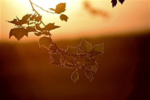 Summer sunset, spring leaves | by Targuman