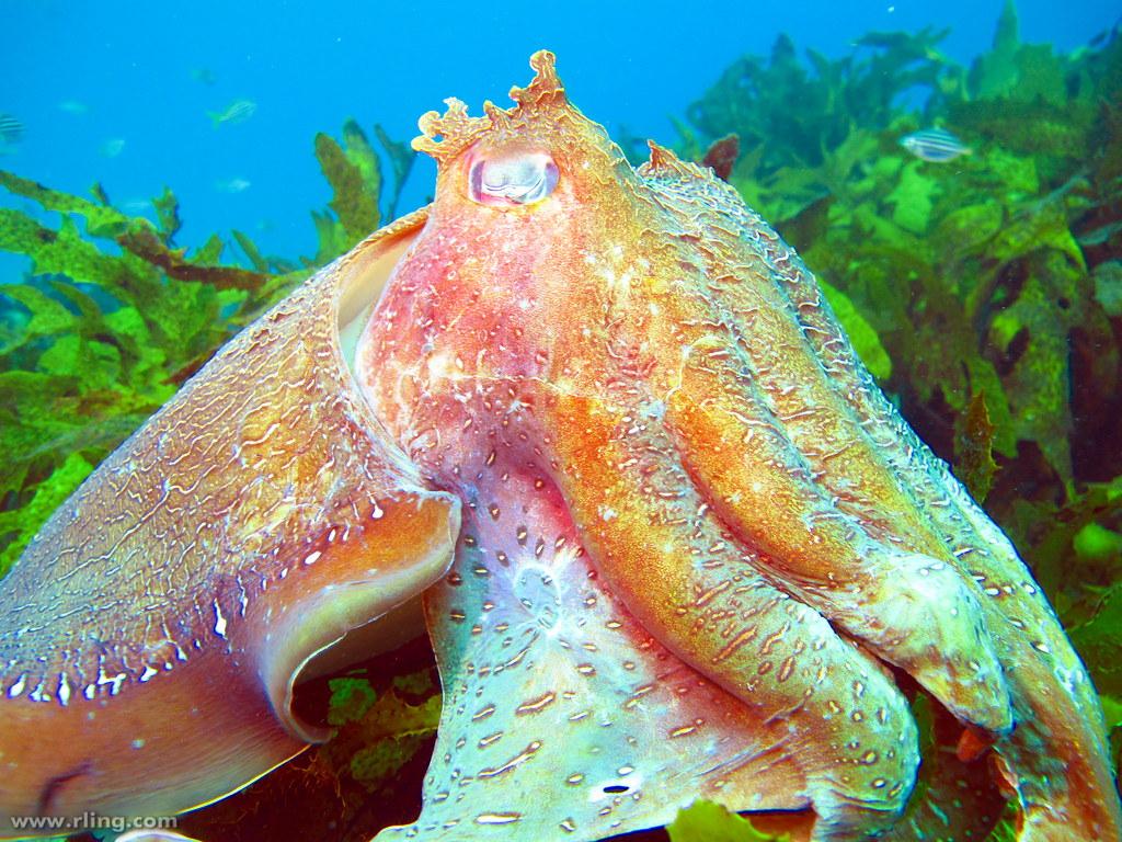 Cuttlefish Wallpaper 869409