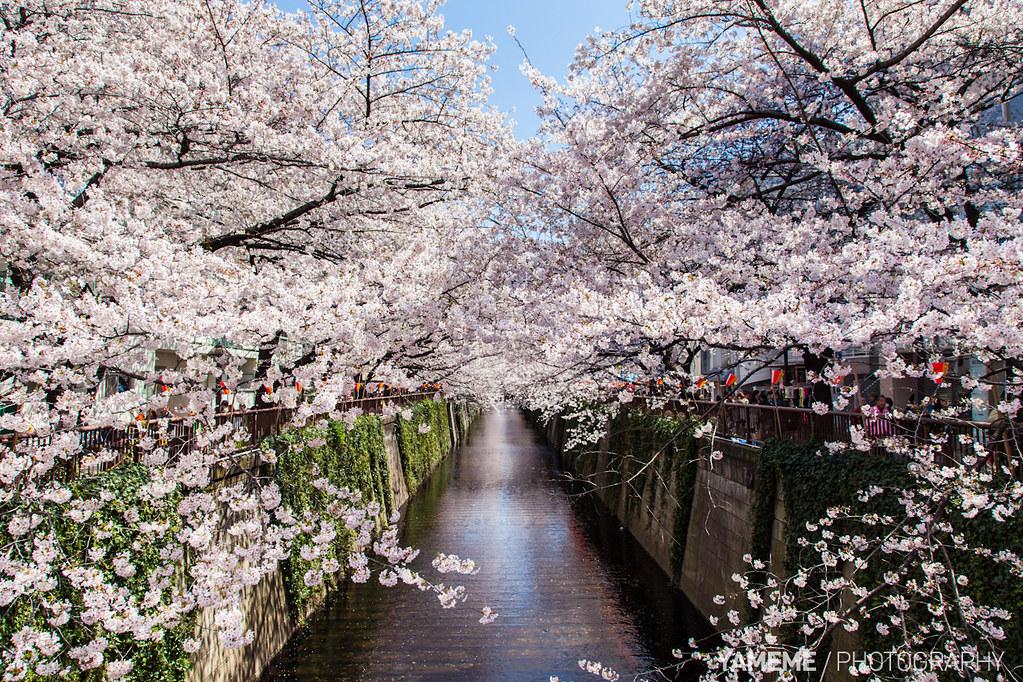 「目黑川 櫻花」的圖片搜尋結果