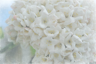 White Lilac | by redsnapper!