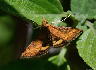 133/978 - California Pyrausta Moth (Pyrausta californicalis), Nectar Garden | by Jerry Ting