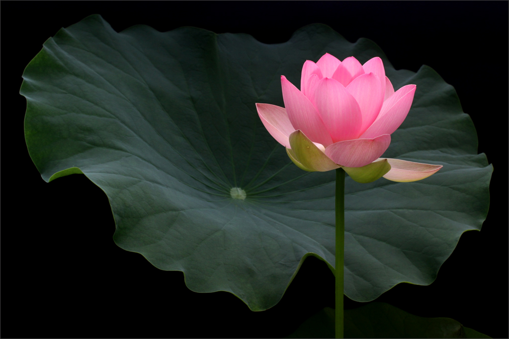 pink lotus flower and the leaf  img  pink lotus …  flickr, Beautiful flower
