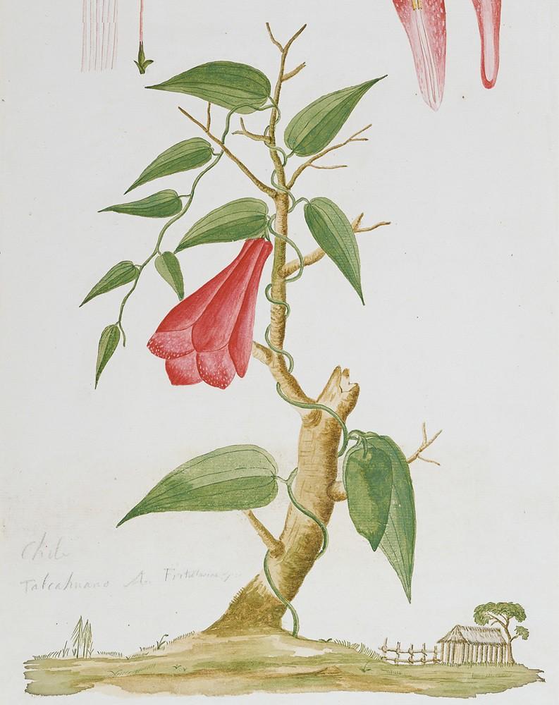 El Copihue, Planta trepadora con grandes flores de color r… | Flickr