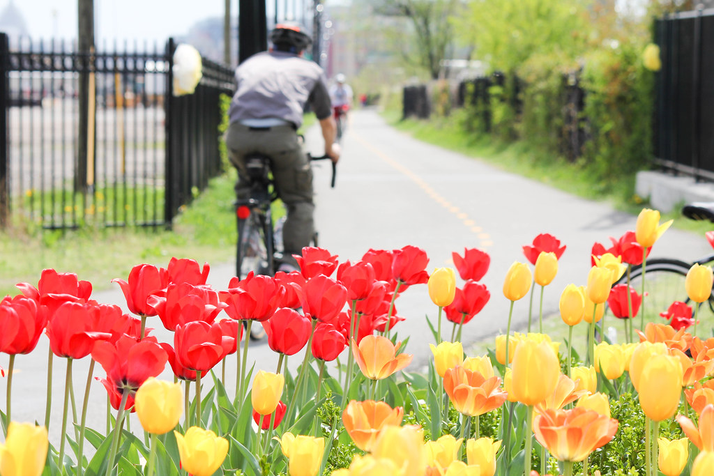 biking past tulips on the Metropolitan Branch Trail