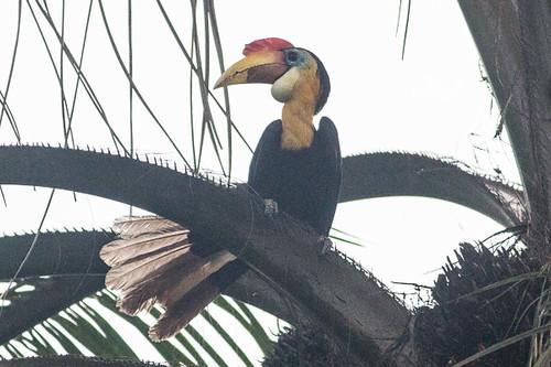Wrinkled Hornbill. male