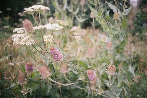 hogweed & teasel | by the incredible how (intermitten.t)